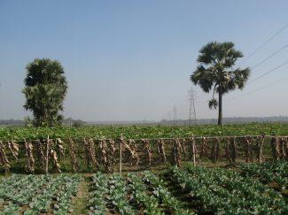 Rural scene and crops Bangladesh